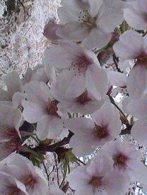 Sakura: il fiore di ciliegio
